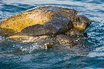A Mating Pair Of Pacific Green Sea Turtles (Chelonia Mydas)