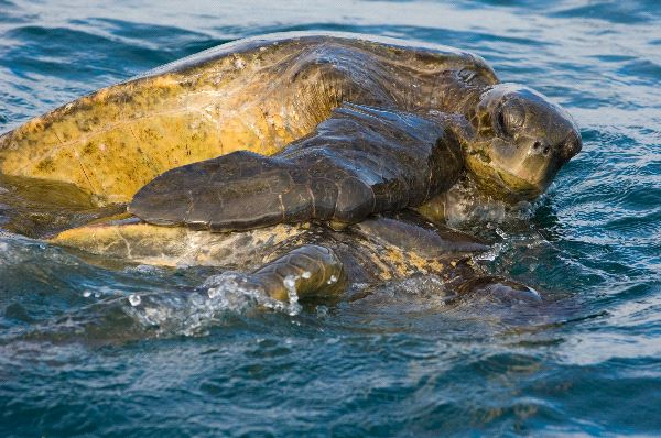 Kemps Ridley Sea Turtle Shell A Mating Pair Of Pacif...