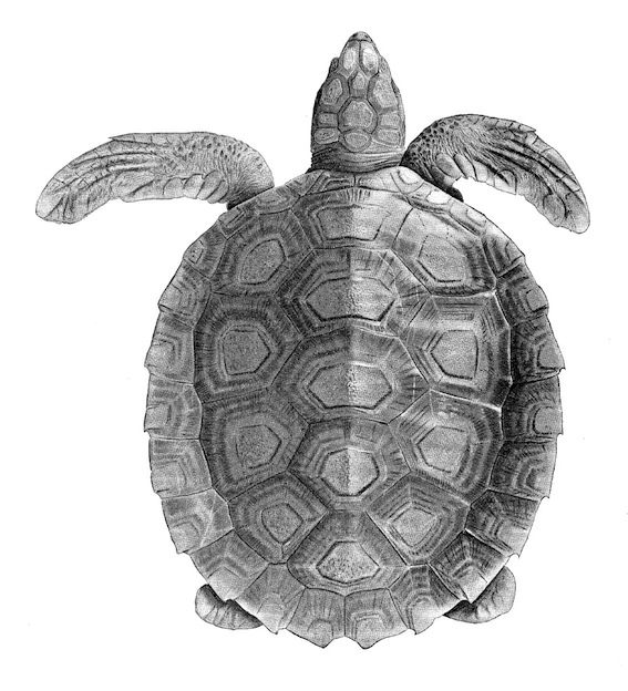 Amazing facts about Flatback Sea Turtle