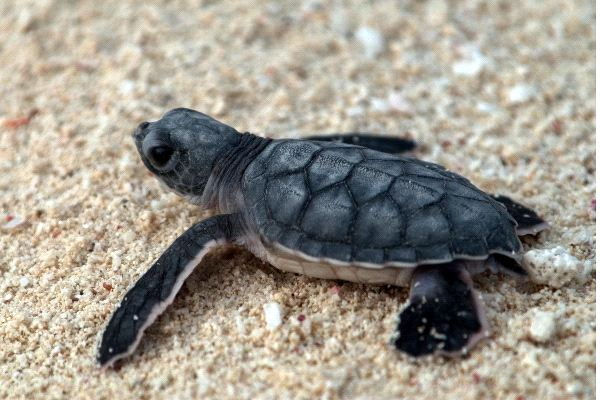 Baby Sea Turtle Heading To The Sea