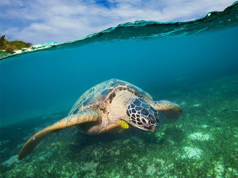 Información sobre la tortuga marina verde.