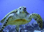 Critically Endangered Hawksbill Sea Turtle