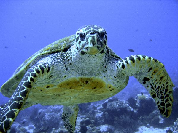 Why the endangered green sea turtle is losing its male population
