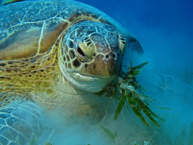 Sea Turtle Feeding - Sea Turtle Facts and Information