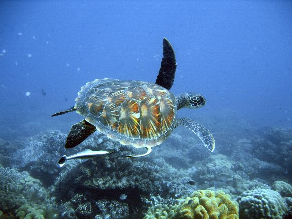 Endangered Green Sea Turtle