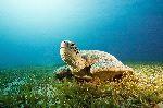 Female Green Sea Turtle