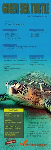 Green sea turtle Infographic.