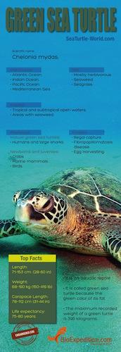Green sea turtle Infographic.