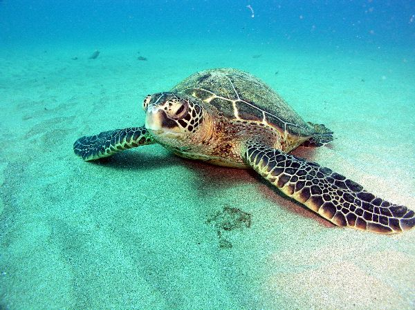 Green Sea Turtle Laying