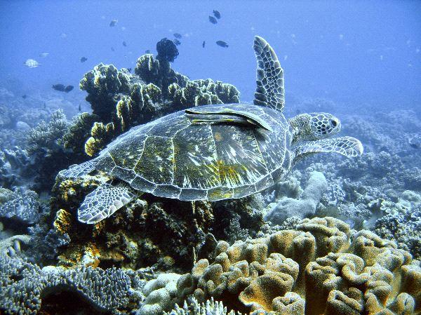 Tortuga_verde_nadando_600