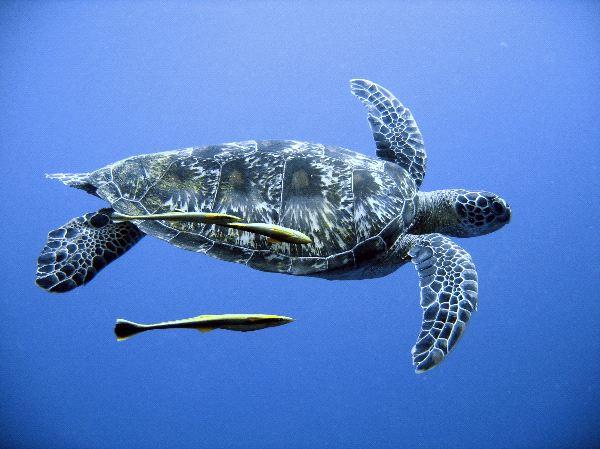 Green Sea Turtle in Open Seas