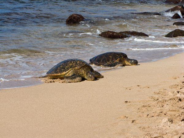 Tortugas_verdes_en_la_playa_600