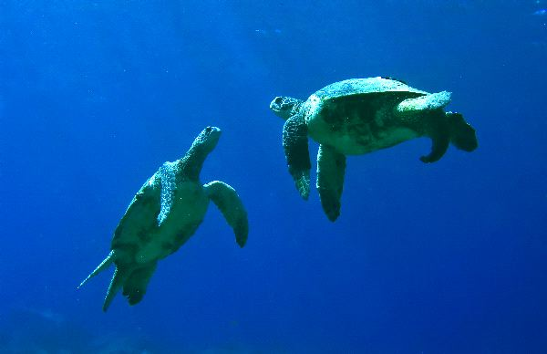 Green Sea Turtles Playing