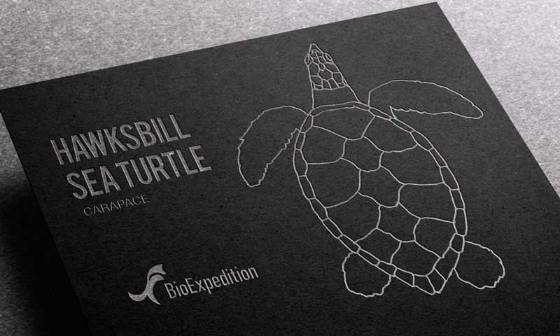 Anatomy of Hawksbill sea turtle.