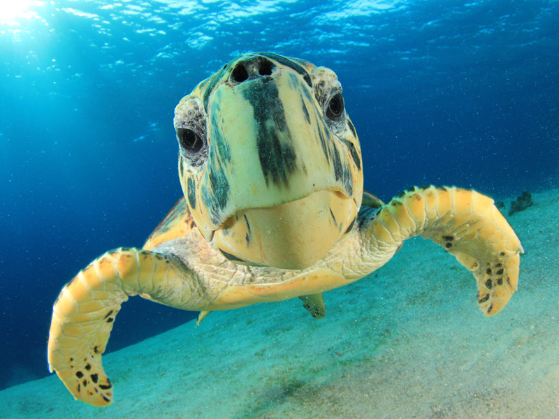Hawksbill Sea Turtle - Sea Turtle Facts and Information