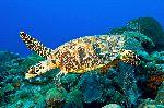 Hawksbill Sea Turtle Hovering Reef