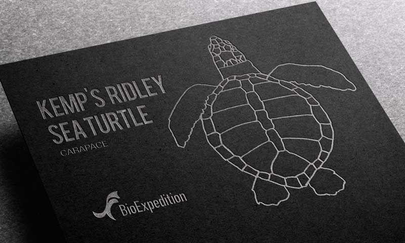 Anatomy of Kemp's ridley sea turtle.