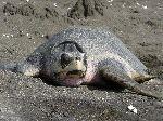 Kemp Ridley Sea Turtle Costa Rica