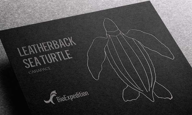 Anatomy of Leatherback sea turtle.