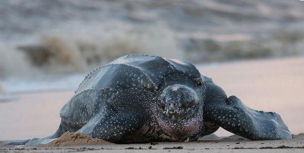 Leatherback Sea Turtle South America