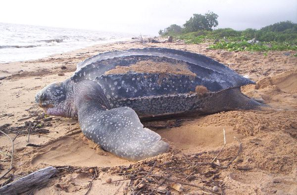 Leatherback Sea Turtle on the Beach