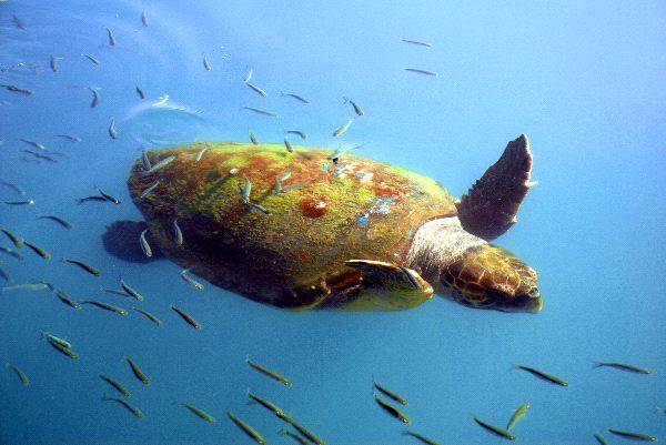 Swimming Turtle in Greece