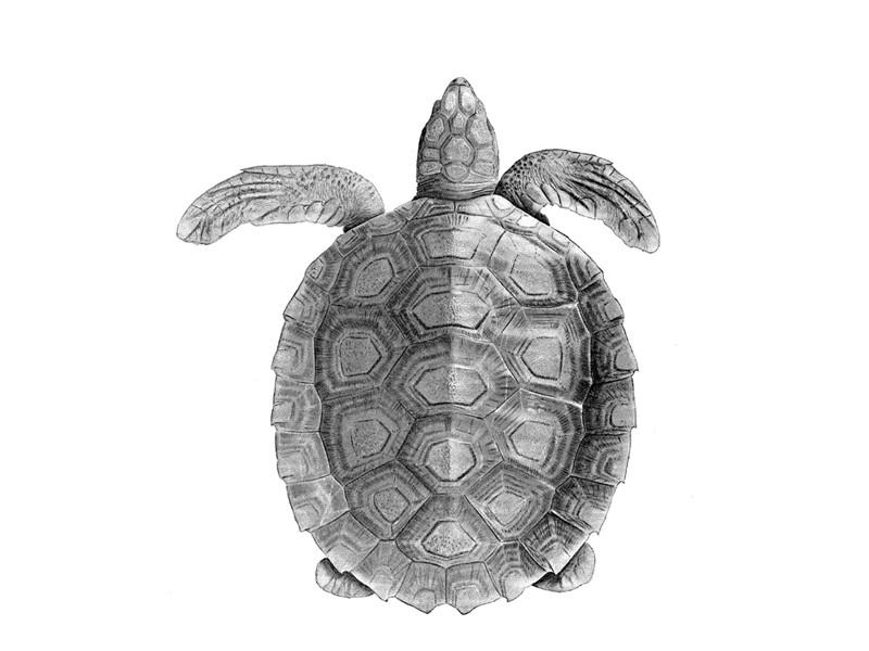 Tortuga Plana - Tortuga Marina Información y Características