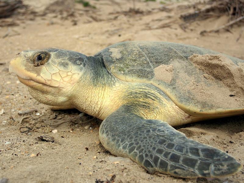 Anatomía de las Tortugas Marinas