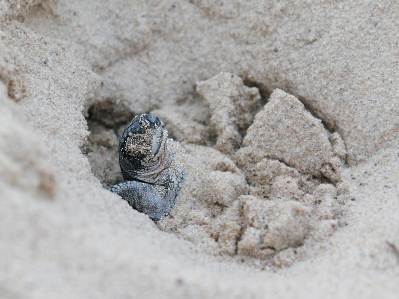 Leatherback sea turtle reproduction.
