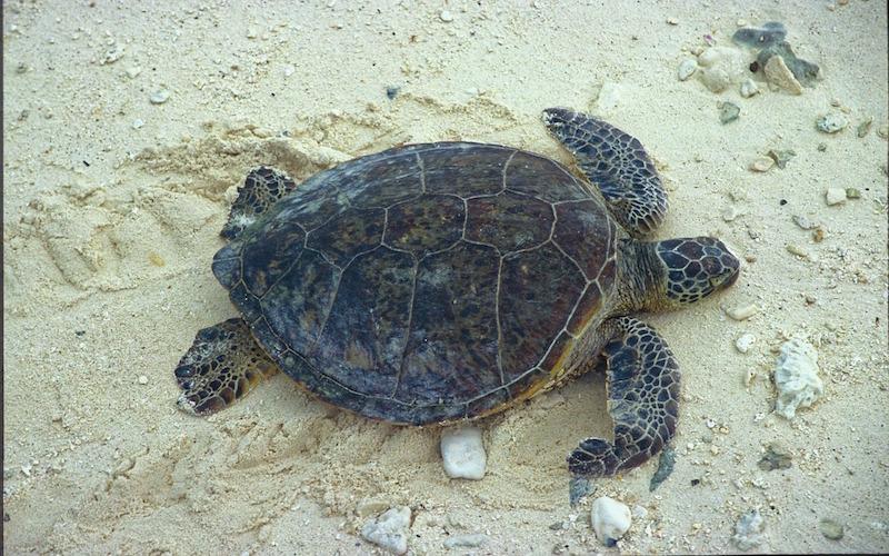 Partes del caparazón de las tortugas marinas.