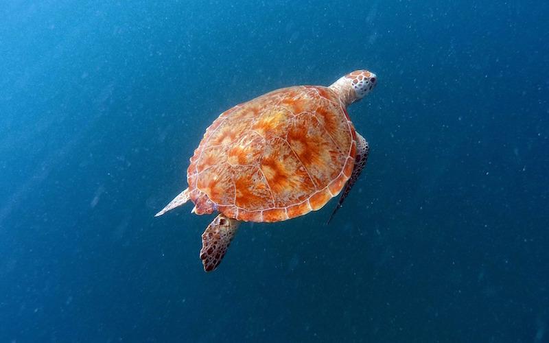 Caparazones de Tortugas Marinas
