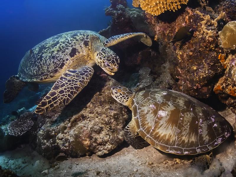 Características de las tortugas verdes.