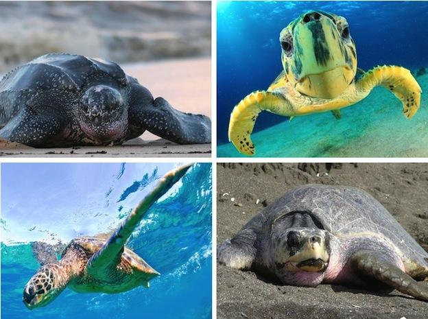 especies_tortugas_marinas_624