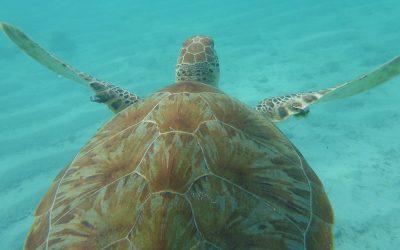 Sea Turtle Evolution