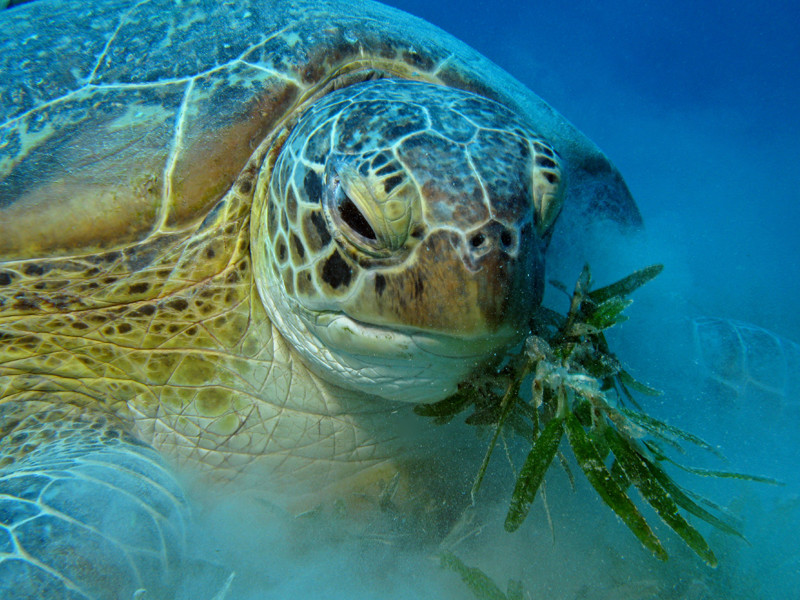 Feeding Habits of sea turtles.