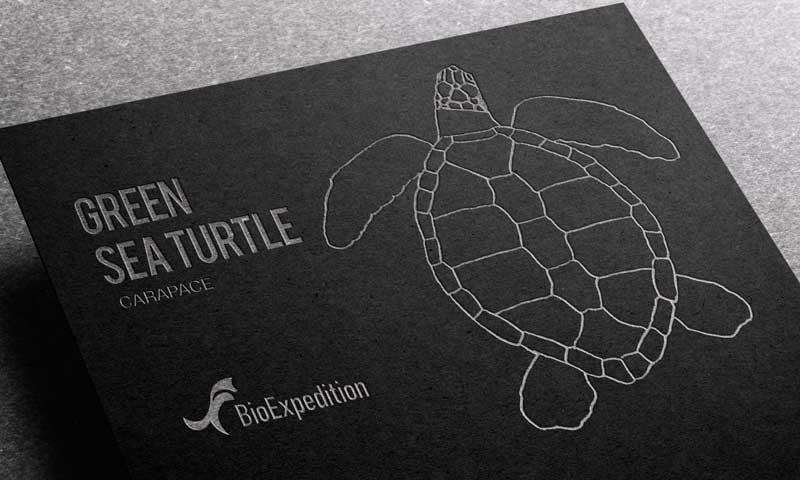 Anatomy of green sea turtle.