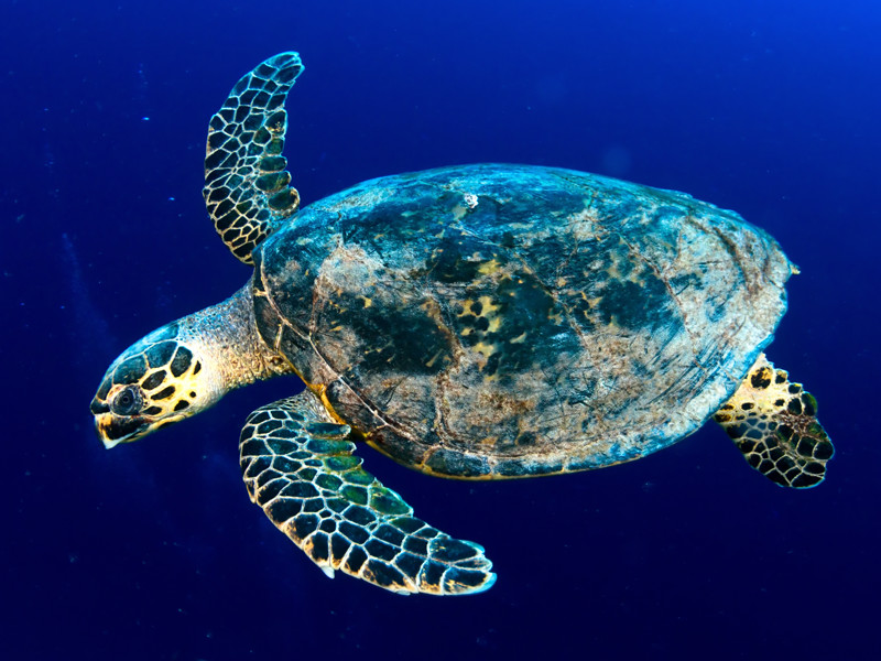 Information about the hawksbill sea turtle.