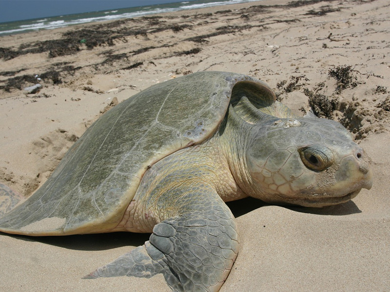 Kemp's Ridley Sea Turtle information.