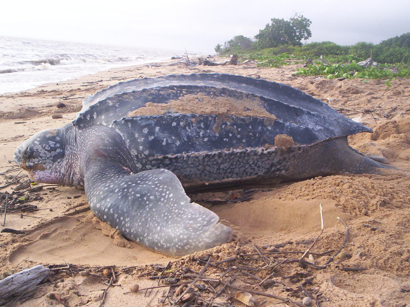 Leatherback sea turtle information.