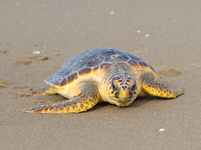 Loggerhead Sea Turtle - Sea Turtle Facts and Information