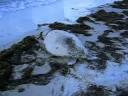 Loggerhead Sea Turtle Alligator Point FL