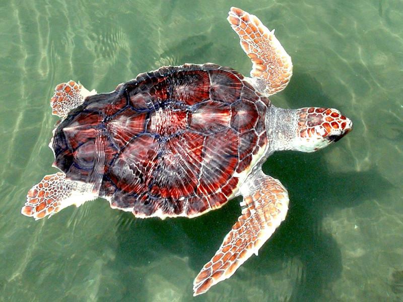 Loggerhead sea turtle characteristics.