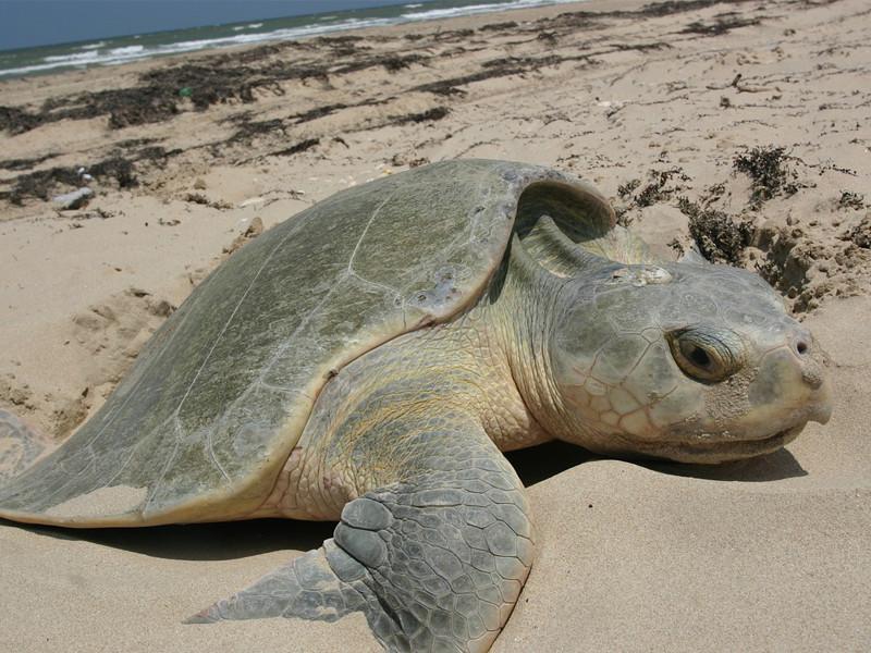 Datos sobre la tortuga lora o golfina.