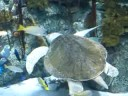 Olive Ridley Sea Turtle in Aquarium