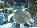 Olive Ridley Sea Turtle in Aquarium