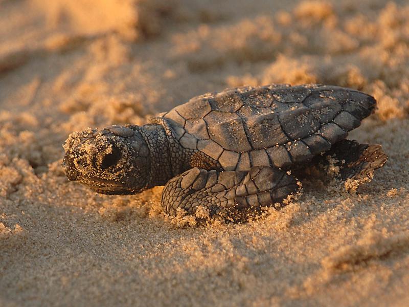 Reproducción de las Tortugas Marinas