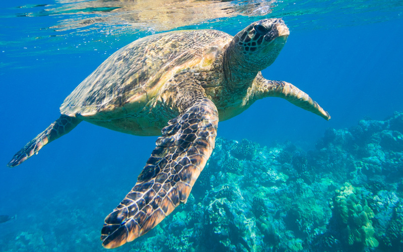 Tortugas marinas en riesgo.