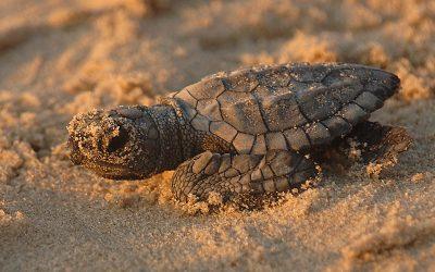 Sea Turtle Reproduction