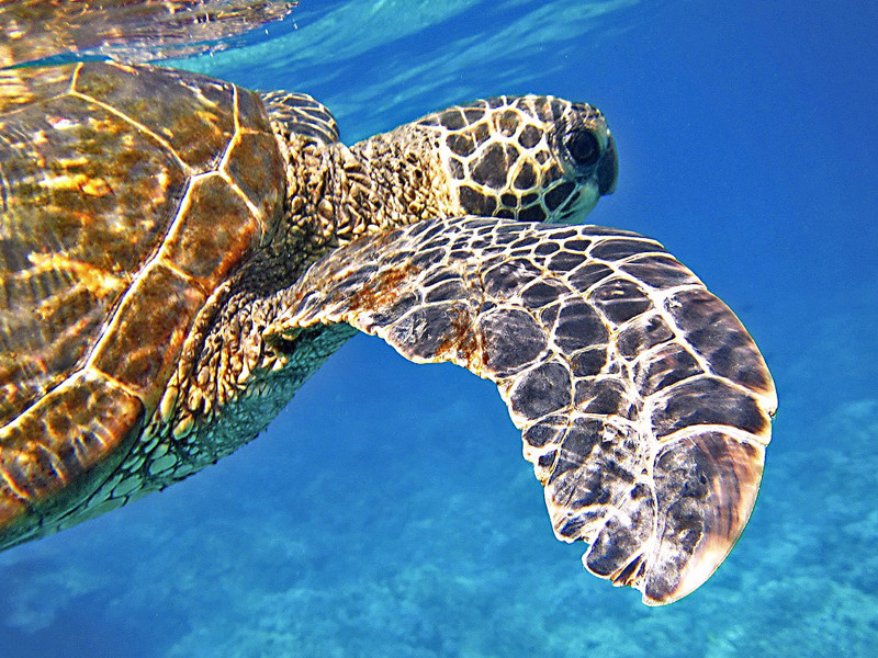 What are some distinctive characteristics of sea turtles?
