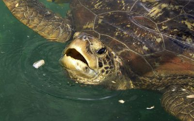 Sea Turtle Feeding